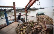 Sambu Group Tetap Beroperasi dan Membeli Kelapa dari Petani